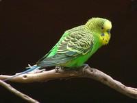 Как назвать попугая?